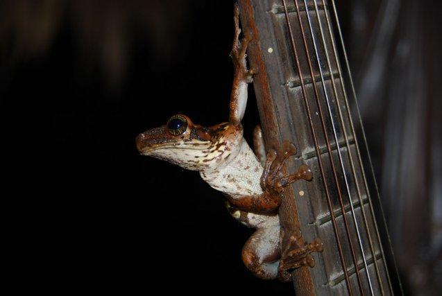BIODIVERSITE ET CULTURE : Grenouille jouant un solo de guitare