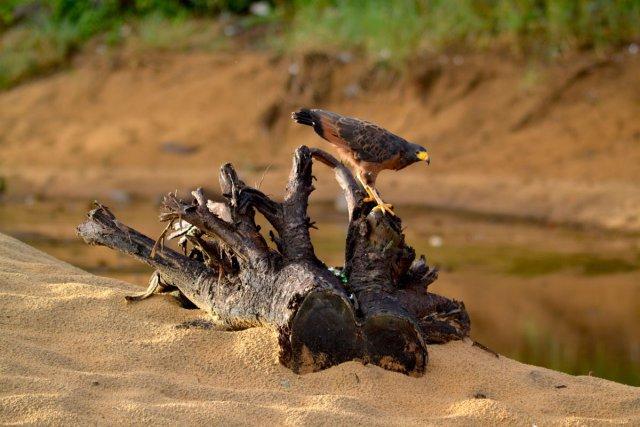 Espèce: Buse buson - Lieu de la prise de vue: Plage des brésiliennes (sur le route des plages)- Cayenne.