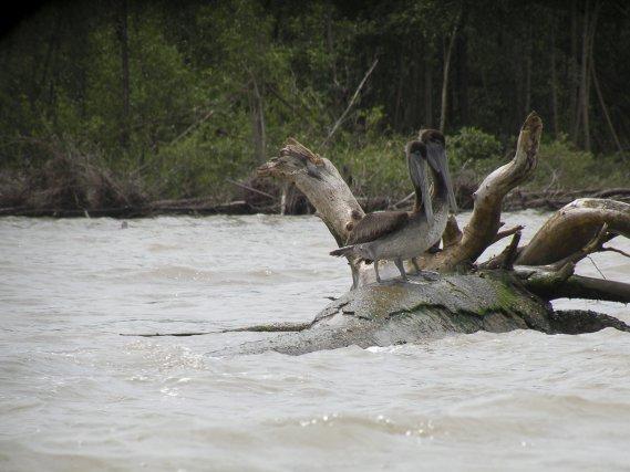 2 pélicans bruns immatures à l'embouchure de la crique Macouria.