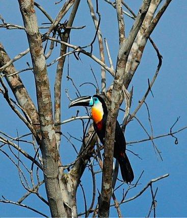Toucan ariel <i>( ramphastos vitellinus )</i> pris dans le sentier du Rorota le 14/11/2013