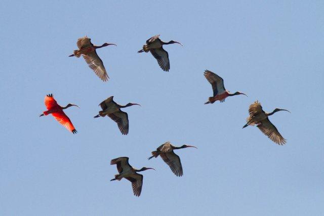 Nom de l'espèce: Ibis rouge - <i>Eudocimus ruber</i>, lieu de la prise de vue: Embouchure de l'Iracoubo