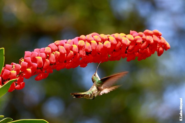 Colibri (Oreillard) - Jardin Botanique, Cayenne -9 novembre 2013