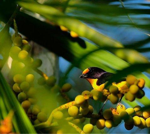 Organiste <i> ( Euphonia violacea )</i> Pris le 3/11/2013 17h26 dans mon jardin à  Cayenne.