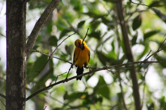 L'espèce représentée est l'Oriole jaune <i> (Icterus nigrogularis).</i> Le lieu de la prise de vue est le vieux port de Cayenne.