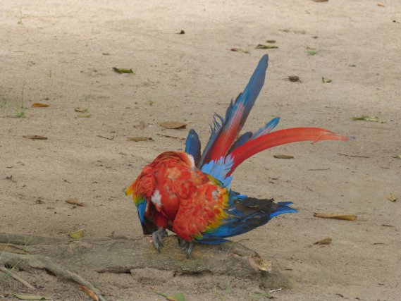 Le vieux perroquet du charmant village de BELIMKAMPOE... 24 août 2013!!... un