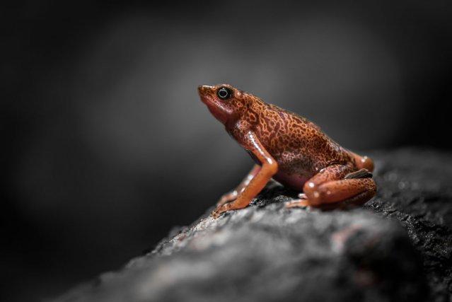 L'Atélope jaunâtre<i> (Atelopus flavescens),</i> petit crapaud emblématique de la réserve du Mont Grand Matoury est régulièrement observé et entendu sur les sentiers de Lamirande.