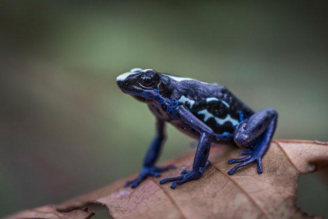 Le Dendrobate à tapiré<i> (Dendrobates tinctorius)</i>. Cette espèce présente des variations de colorations en fonction des lieux d'observation.