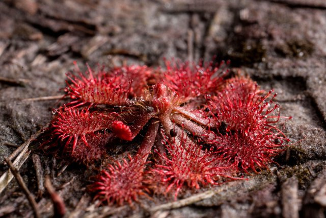 <i>Drosera capillaris</i>, il s'agit d'une petite plante carnivore protégée (1 cm de diamètre) intimement liée aux savanes.