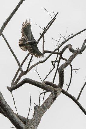 La Harpie féroce<i> (Harpia harpyja)</i> est le plus grand aigle forestier d'Amérique du Sud (ici un jeune individu).