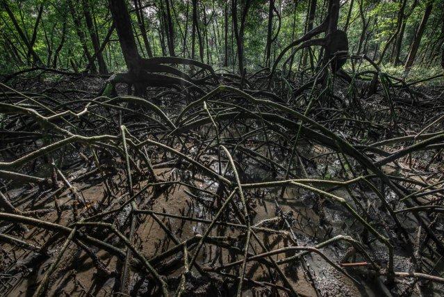 Palétuviers rouges (Rhizophora mangle) au bord de la rivière de Cayenne. Le palétuvier rouge est une espèce typique des mangroves d'estuaires et de bords de criques aux eaux saumâtres. Les adaptations de ses racines lui permettent de vivre dans un sol mou, pauvre en oxygène et concentré en sel.