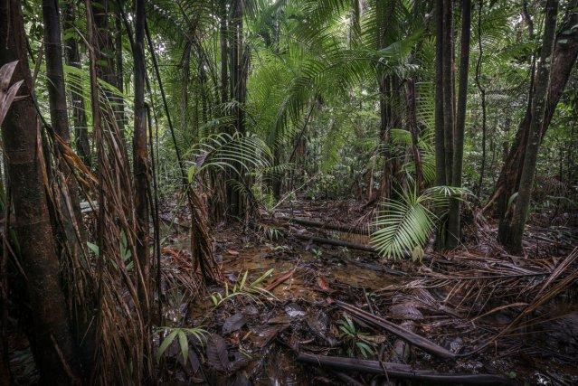La pinotière est une formation végétale à palmier Pinot (ou palmier Wassaï) (Euterpe oleracea) très fréquente dans les bas-fonds de la réserve.