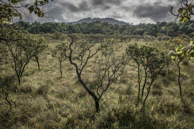 Une savane arborée au coeur de la réserve naturelle. Le Mont Grand Matoury domine à l'arrière-plan. Principalement forestière, la réserve protège aussi en son coeur des milieux ouverts de savanes et marais.
