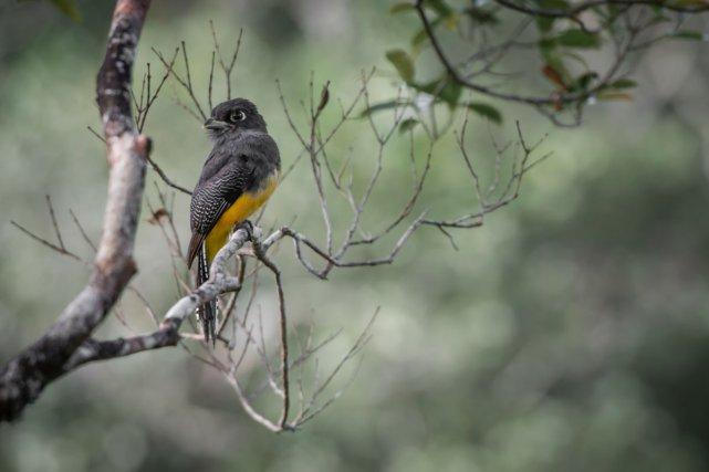 Le Trogon violacé (Trogon violaceus) se fait très souvent entendre sur les sentiers de Lamirande, mais il n'est pas évident à observer.Pour prendre cette image, le photographe est monté en haut d'un arbre, au coeur de la canopée.