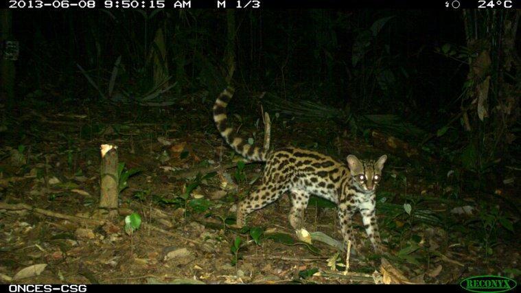 Chat marguay-<i>Leopardus wiedii</i>