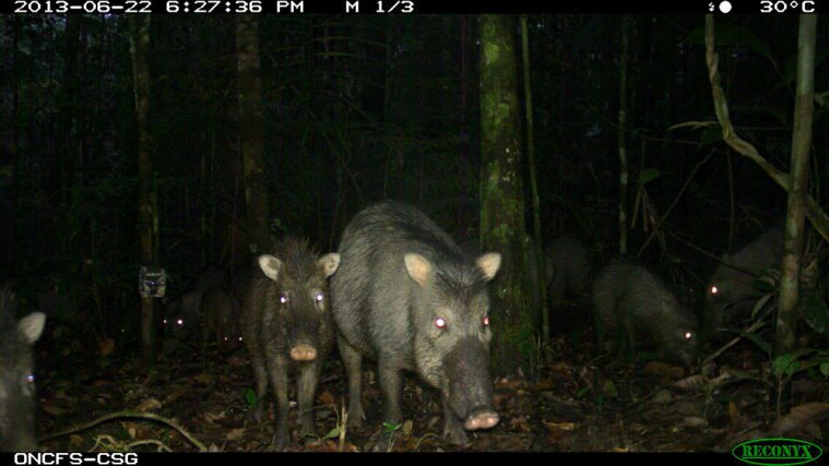 Cochons bois<i>-Tayassu pecari</i>