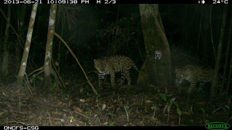 Jaguars-<i>Panthera onca</i>