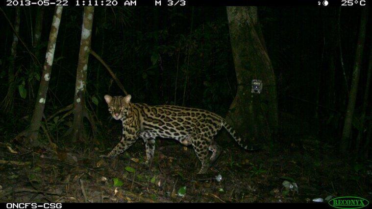 Ocelot-<i>Leopardus pardalis</i>