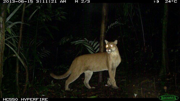Puma-<i>Puma concolor</i>