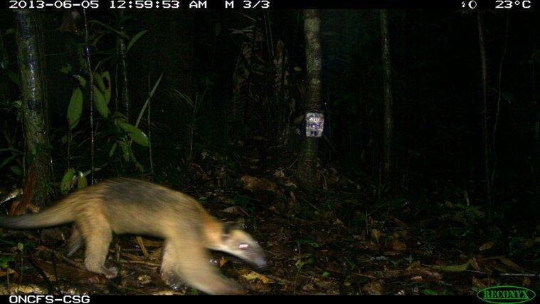Tamandua-<i>Tamandua tetradactyla</i>