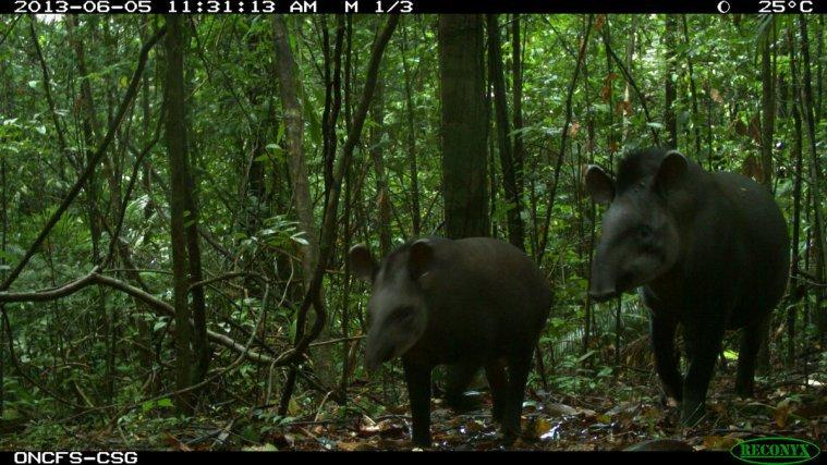 Maïpouri-<i>Tapirus terrestris</i>
