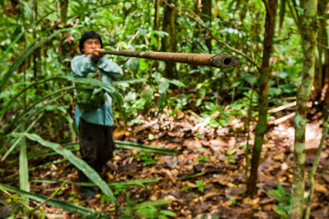 Les Waoranis chassent encore à la sarbacane, notamment les singes...