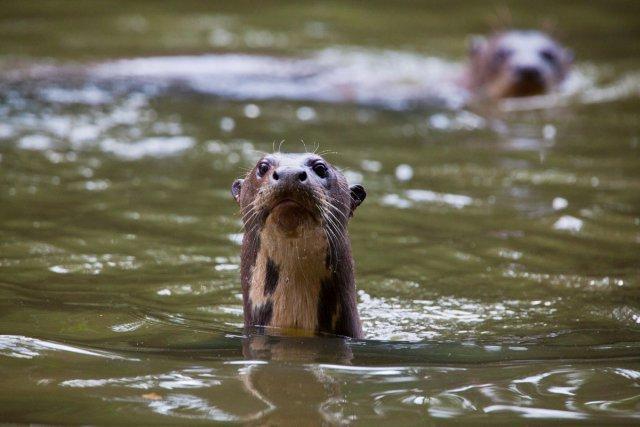 La loutre géante est menacée d'extinction du fait de la pollution de son habitat : les rivières.