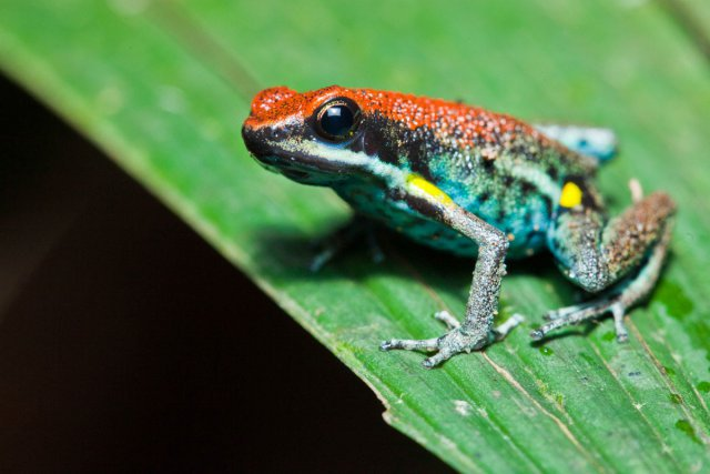 Les amphibiens ne manquent pas à Yasuni ! Ici, une dendrobate<i>Ameerega bilinguis</i>