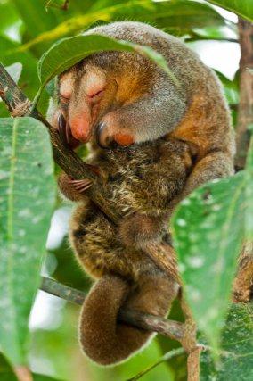 Le plus petit des fourmilliers <i>(Cyclopes didactylus)</i> en train de dormir avec son petit accroché sur le ventre.