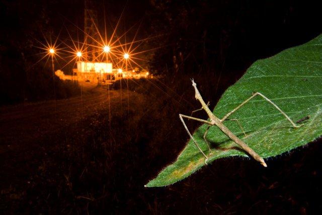 Un insecte (Proscopiidae) observe une zone d'extraction pétrolière en plein coeur du Parc National Yasuni, en Equateur.