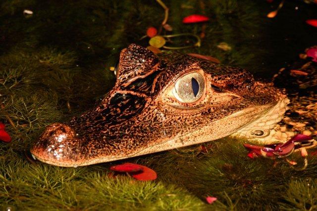 Caïman à lunettes <i>Caiman crocodilus</i>