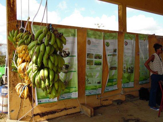 Régime d'une variété de banane mise en test chez des producteurs guyanais -