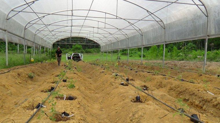 Essai de variétés de poivrons chez un agriculteur de Montsinéry