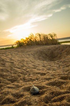 Jeune tartaruga<i> (P. expansa)</i> à la sortie du nid, partant conquérir le monde