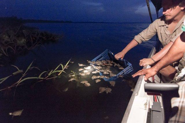 Une fois comptées, les jeunes tortues sont relâchées en lieu sûr, à proximité de la végétation aquatique