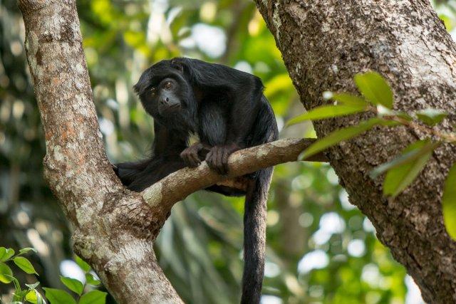 Hurleur noir d'Amazonie <i>(Alouatta sp.)</i>