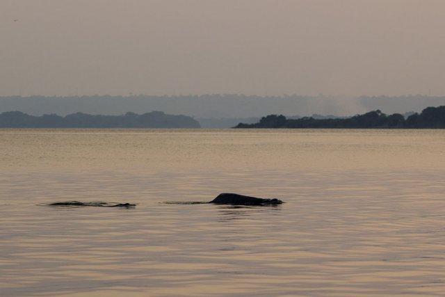 Boto, dauphin fluvial <i>(Inia geoffrensis)</i>