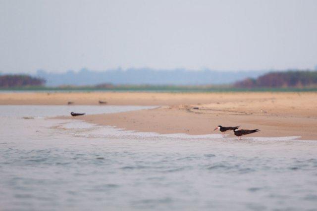 Bec-en-ciseaux noir<i> (Rynchops niger)</i> survolant la plage de Juncal