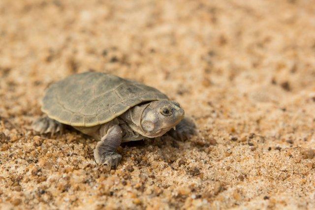 Jeune tartaruga<i> (P. expansa) </i>