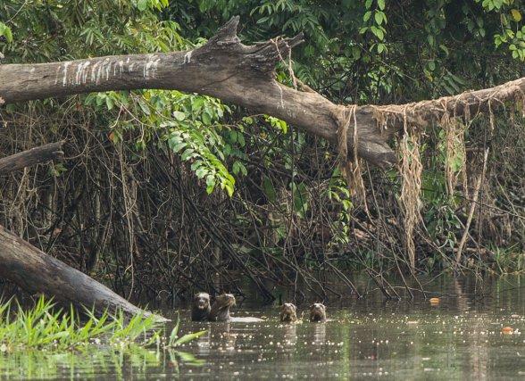 Loutres géantes <i>(Pteronura brasiliensis)</i>