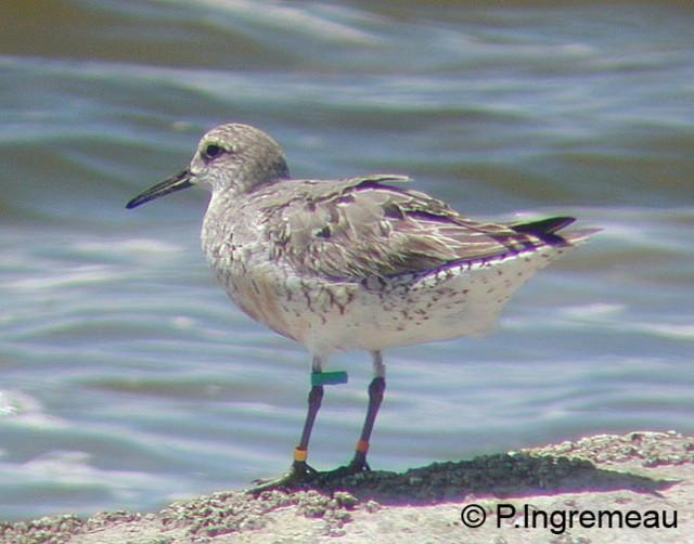 La Guyane : terre d'accueil d'oiseaux migrateurs