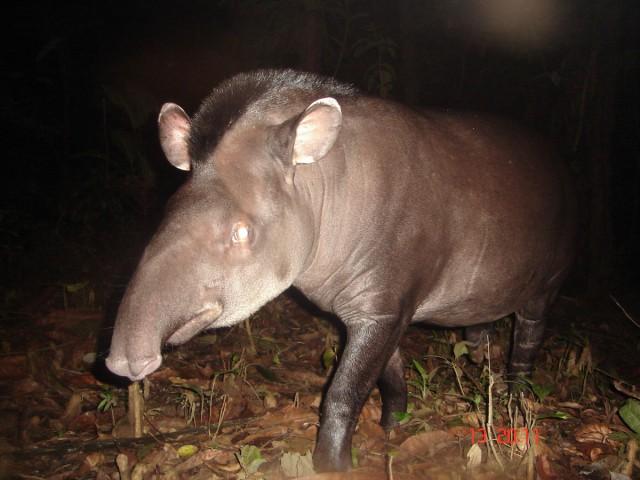 Le maïpouri : un semeur de la forêt à préserver