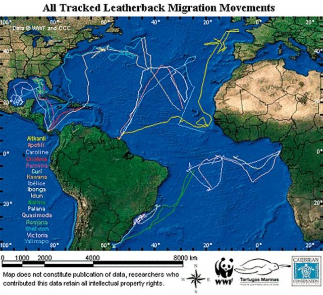 OCéAN : Les tortues luth suivies à l'échelle de l'Atlantique !
