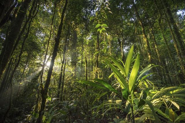 DOSSIER RECHAUFFEMENT CLIMATIQUE La canopée amazonienne DOSSIER CLIMAT est-elle encore un puits de carbone ? L'Amazonie est la plus grande forêt tropicale de la planète, elle héberge une grande biodiversité, et une diversité de cultures. L'Amazonie est aussi devenue récemment le sujet de débats passionnés concernant son futur. Soumis au réchauffement climatique, continuera-t-elle à jouer un rôle de puits de carbone, en fixant le CO2 atmosphérique ? De nombreux chercheurs, notamment au sein du Labex Ceba en Guyane, étudient les tendances actuelles et scénarios pour la forêt amazonienne Photo de G. Feuillet/PAG