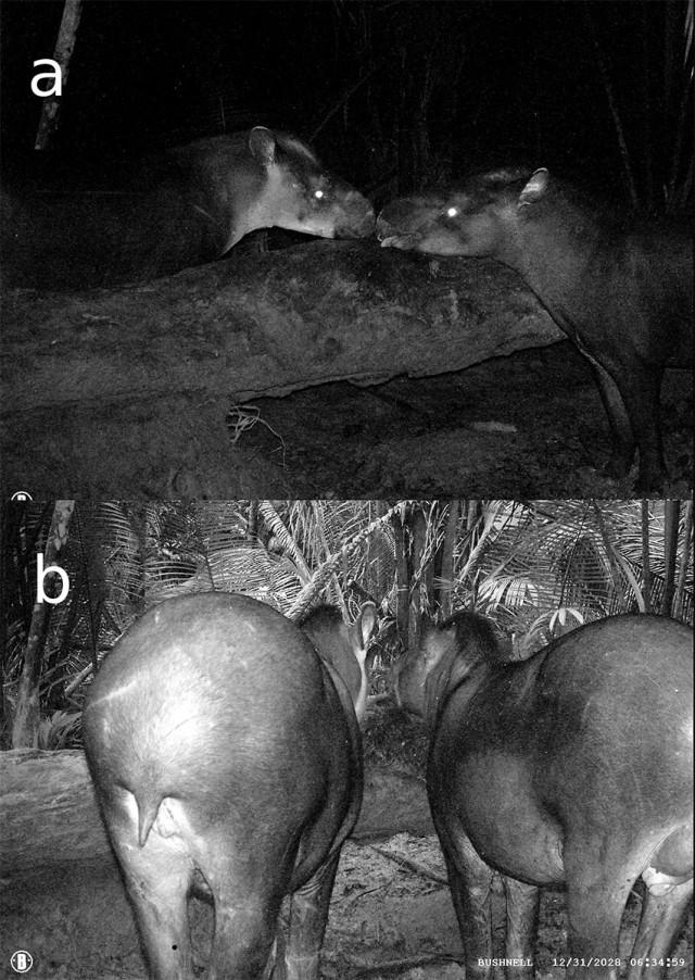 Une nouvelle espèce de tapir : découverte au Brésil
