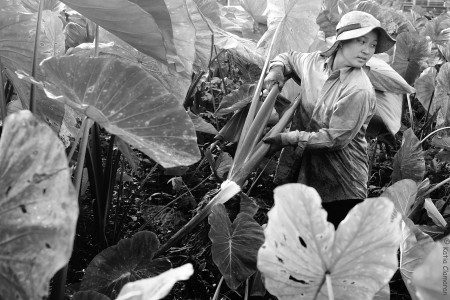 Hmong de Cacao, Pieds de dachines, 2013