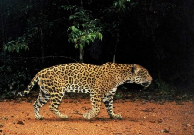 PROGRAMME WWF / KWATA  : Portrait volé de jaguar