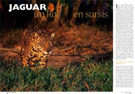 Jaguar : un roi en sursis