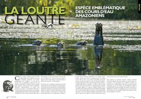 La loutre géante : espèce emblematique des cours d'eau amazonien