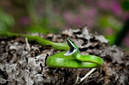 Philodryas viridissima