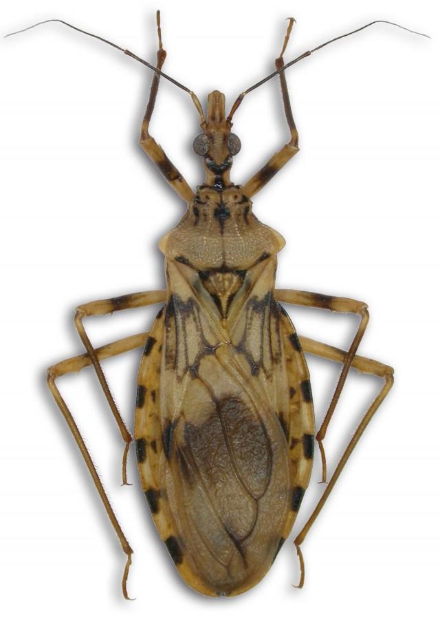 CHAGAS : Nouvelle espèce de réduve (Heteroptera, Reduviidae - Triatominae)